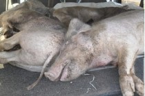 Tres personas a caballo robaron y mataron cuatro cerdos en un campo de Leones y fueron detenidos