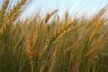 Acerca de la siembra de trigo