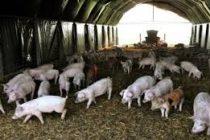Dario Panichelli: Se abrió la exportación de cerdos a China
